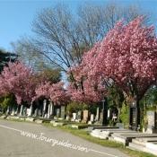 1110 - Zentralfriedhof, Gräberreihe mit Kirchbäumen