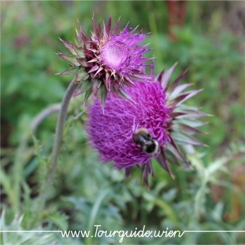 2734  - Schneeberg, Blume am Wegesrand 4