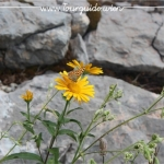 2734  - Schneeberg, Blume am Wegesrand 2